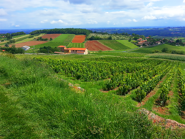 Rolling hills in the Beaujolais Wine Region