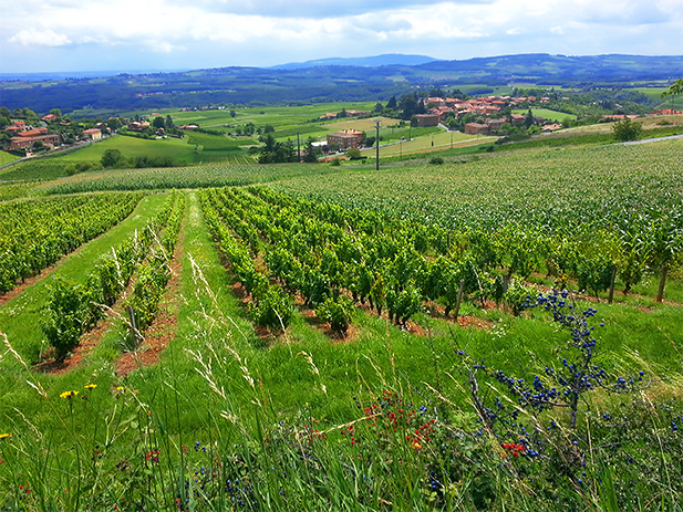 Beaujolais Wine Region
