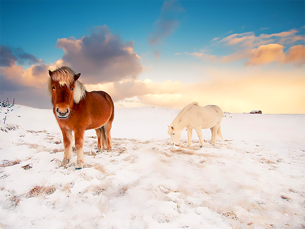 Icelandic Ponies. Why? Because! Photo credit: fineartamerica.com